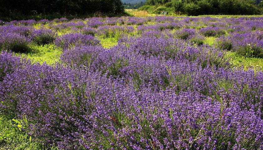 Relax snů uprostřed největšího levandulového pole