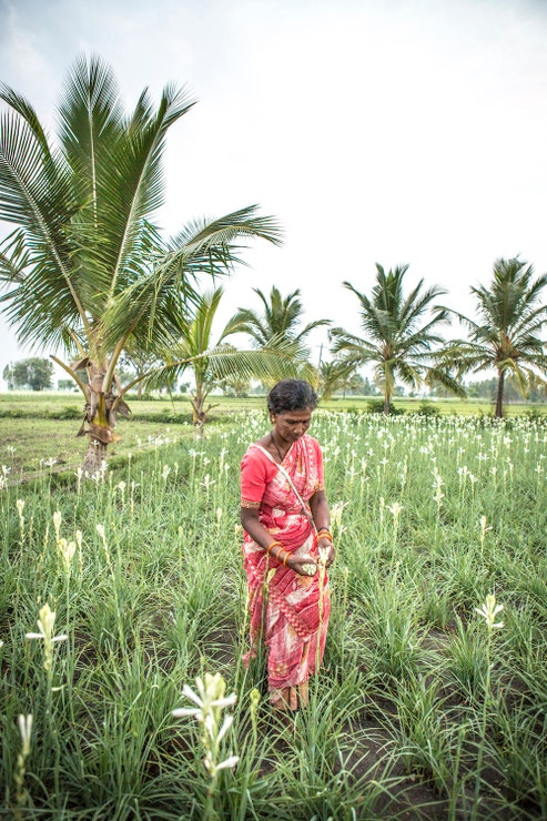 Sklizeň tuberózy v indickém regionu Maisúr