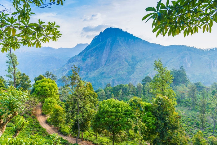 Srí Lanka, čajová plantáž